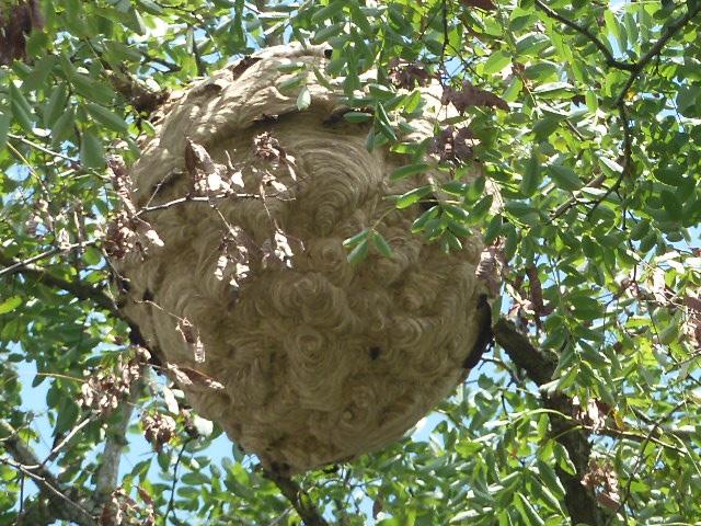 L 39 actualit du syndicat apicole de la mayenne en 2011 - Petit nid de frelon ...
